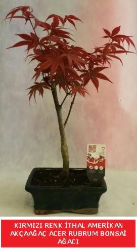 İTHAL ACER RUBRUM BONSAİ AĞACI  Polatlı çiçek gönderme sitemiz güvenlidir