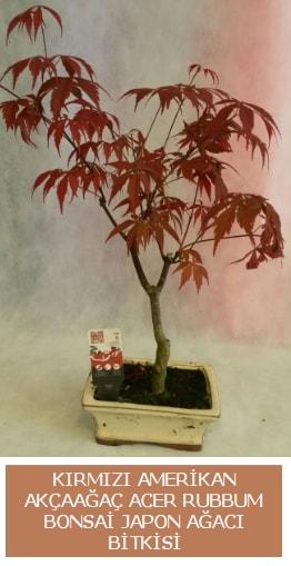 Amerikan akçaağaç Acer Rubrum bonsai  Polatlı uluslararası çiçek gönderme