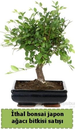 İthal bonsai saksı çiçeği Japon ağacı satışı  Ankara Polatlı İnternetten çiçek siparişi