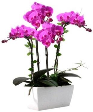 Seramik vazo içerisinde 4 dallı mor orkide  Polatlı çiçek satışı