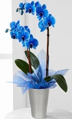 Seramik vazo içerisinde 2 dallı mavi orkide  Polatlı Ankara çiçek , çiçekçi , çiçekçilik