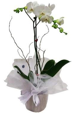 Tek dallı beyaz orkide  Polatlı cicek , cicekci