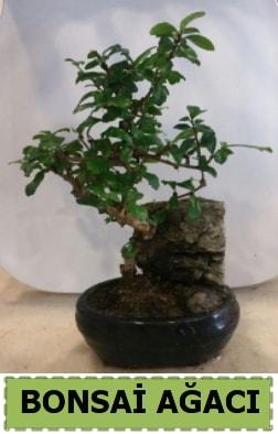 Bonsai ağacı japon ağacı satışı  Polatlı Ankara hediye çiçek yolla