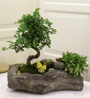 Ağaç kütük içerisinde bonsai ve sukulent  Polatlı çiçek gönderme sitemiz güvenlidir