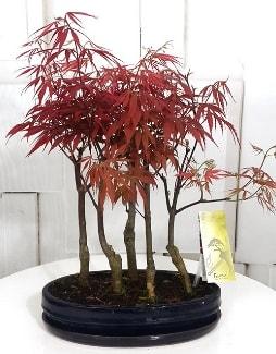 5 adet japon akçaağaç bonsai çiçeği  Polatlı çiçek satışı