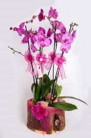 4 dallı kütük içerisibde mor orkide  Polatlı çiçek satışı