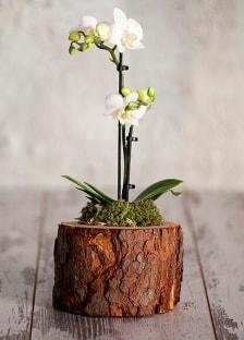 Doğal kütük 2 dallı beyaz orkide  Ankara Polatlı çiçek yolla