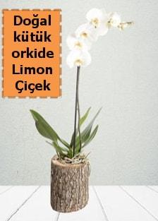 Doğal kütükte tek dallı beyaz orkide  Polatlıya çiçek Ankara çiçekçi telefonları