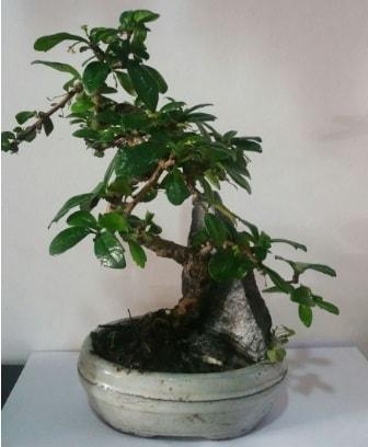 S şeklinde ithal bonsai ağacı  Ankara Polatlı çiçek yolla
