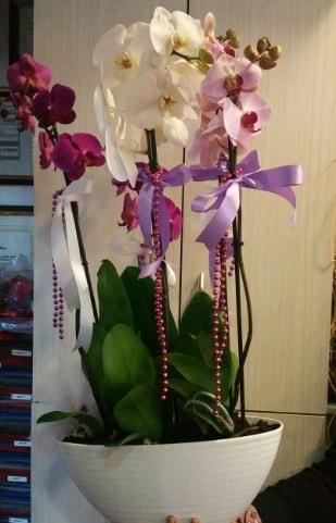 Mor ve beyaz ve pembe 6 dallı orkide  ucuz çiçek gönder