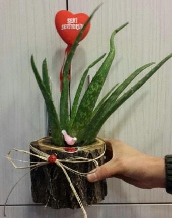 Kütük içerisinde alovera çiçeği bitkisi  Polatlıya çiçek Ankara çiçekçi telefonları