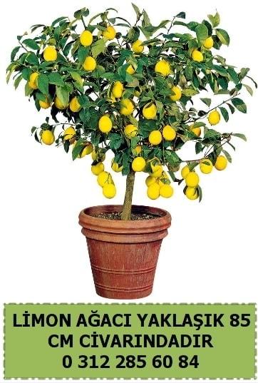 Limon ağacı bitkisi  Polatlı çiçek satışı
