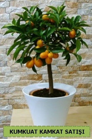 Kamkat 35 cm civarı kumkuat bitkisi  Polatlıda çiçek firması çiçek gönderme