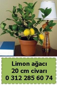 Limon ağacı bitkisi  Polatlıya çiçek Ankara çiçekçi telefonları