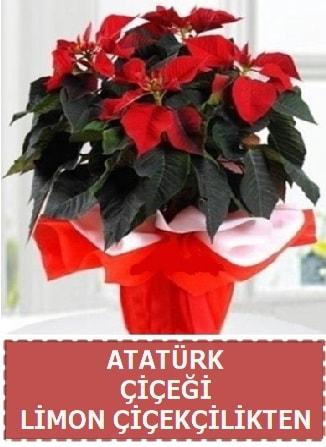 Atatürk çiçeği saksı bitkisi  Polatlı çiçek satışı