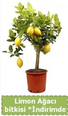 Limon ağacı bitkisi Ev için limon bitkisi  Polatlı Ankara çiçek , çiçekçi , çiçekçilik