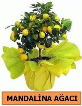 Mandalina ağacı Mandalina bitkisi  Polatlıda çiçek firması çiçek gönderme