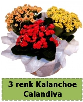 3 renk Kalanchoe Calandiva saksı bitkisi  Polatlıda çiçek firması çiçek gönderme