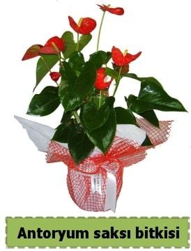 Antoryum saksı bitkisi satışı  Polatlı Ankara çiçek , çiçekçi , çiçekçilik