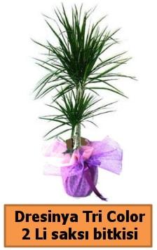 Dresinya Tri Color 2 li saksı bitkisi çiçeği  Polatlı çiçek satışı