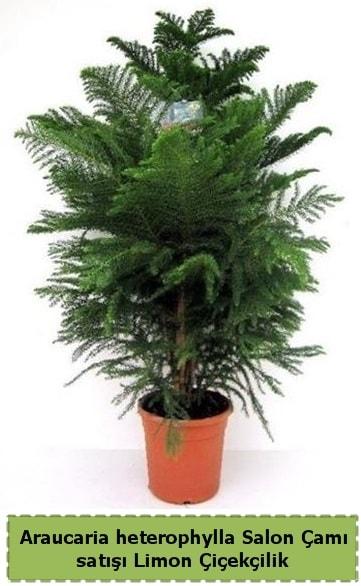 Salon Çamı Satışı Araucaria heterophylla  Polatlı çiçek satışı