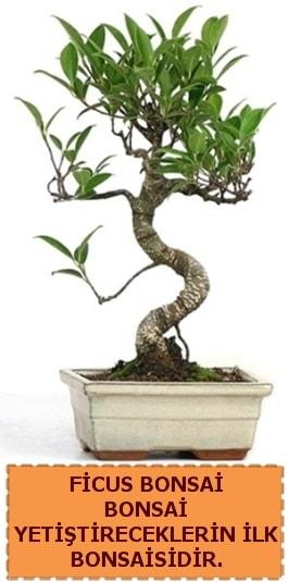 Ficus bonsai 15 ile 25 cm arasındadır  Ankara Polatlı çiçek yolla
