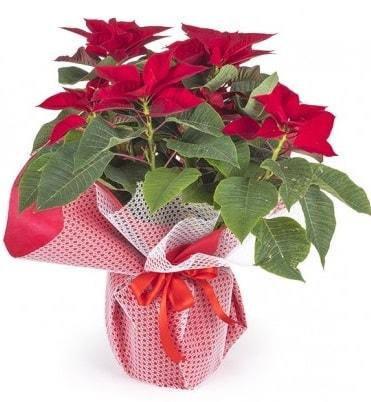 Atatürk çiçeği saksı bitkisi  Polatlı çiçek gönderme sitemiz güvenlidir