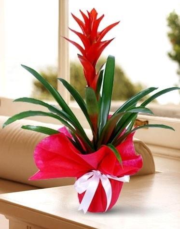 Guzmanya Saksı Çiçeği  Ankara Polatlı çiçek yolla
