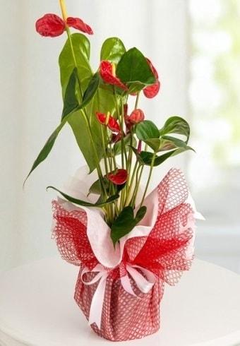 Anthurium Saksı Çiçeği  Polatlı Ankara hediye çiçek yolla