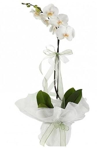 Tekli Beyaz Orkide  Polatlı Ankara hediye çiçek yolla