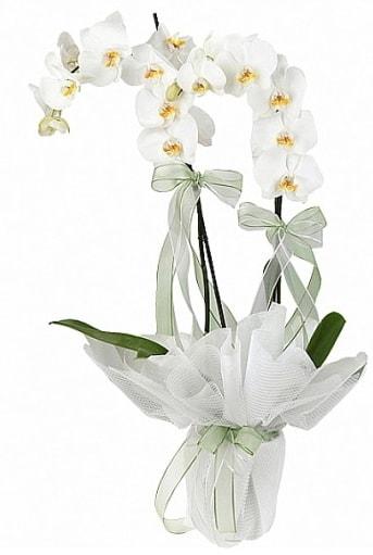 Çift Dallı Beyaz Orkide  Polatlı anneler günü çiçek yolla