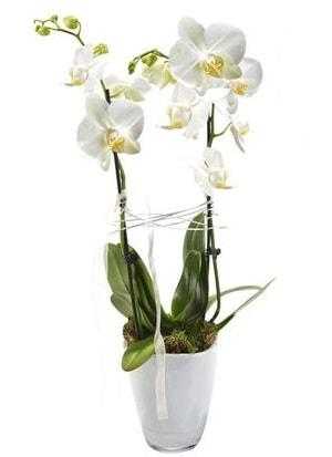 2 dallı beyaz seramik beyaz orkide saksısı  Polatlı çiçek gönderme sitemiz güvenlidir