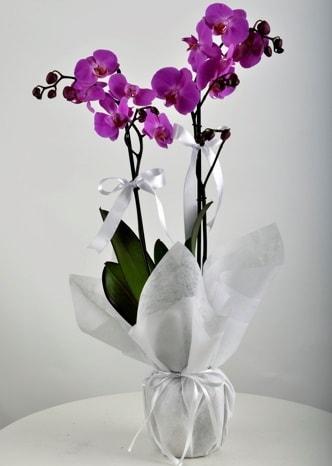 Çift dallı saksıda mor orkide çiçeği  Polatlı çiçek siparişi vermek