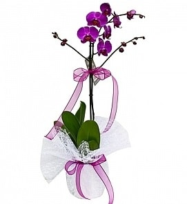 Tek dallı saksıda ithal mor orkide çiçeği  Polatlıdaki çiçekçiler