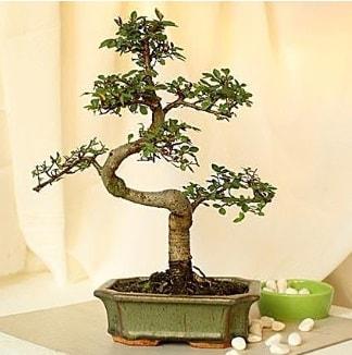 Shape S bonsai  Ankara Polatlı İnternetten çiçek siparişi