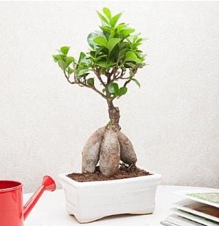 Exotic Ficus Bonsai ginseng  Polatlıdaki çiçekçiler çiçek servisi , çiçekçi adresleri