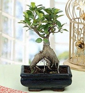 Appealing Ficus Ginseng Bonsai  Polatlı anneler günü çiçek yolla