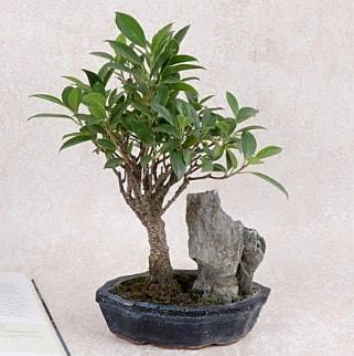 Japon ağacı Evergreen Ficus Bonsai  Polatlı çiçek gönderme sitemiz güvenlidir