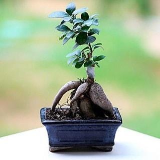 Marvellous Ficus Microcarpa ginseng bonsai  Polatlı çiçek siparişi vermek