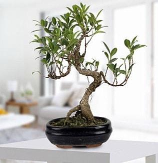 Gorgeous Ficus S shaped japon bonsai  Polatlı yurtiçi ve yurtdışı çiçek siparişi