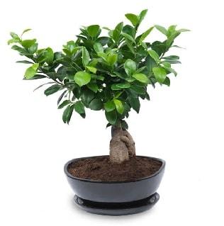 Ginseng bonsai ağacı özel ithal ürün  Polatlı internetten çiçek satışı