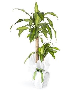 İkili Drecena Massengena Saksı Çiçeği  Polatlıda çiçek firması çiçek gönderme