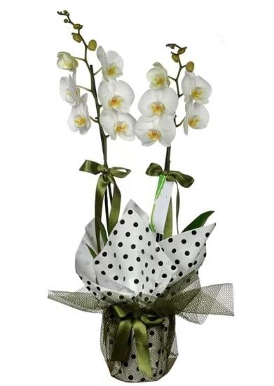 Çift Dallı Beyaz Orkide  14 şubat sevgililer günü çiçek