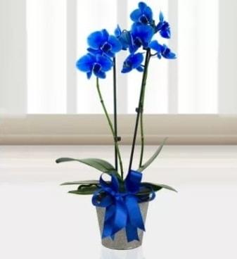 Çift dallı mavi orkide  Polatlı çiçek satışı