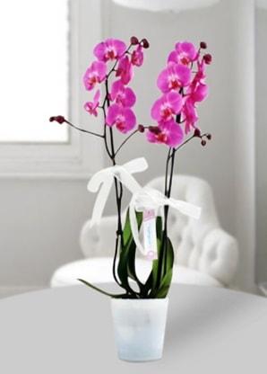 Çift dallı mor orkide  Polatlıdaki çiçekçiler