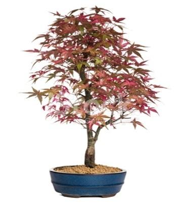 Akçaağaç bonsai süper bonsai ağacı  Polatlı cicek , cicekci
