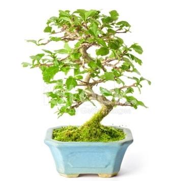 S zerkova bonsai kısa süreliğine  Ankara Polatlı İnternetten çiçek siparişi