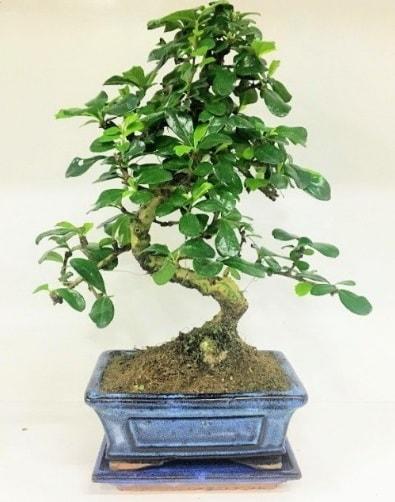 S Bonsai japon ağacı bitkisi  Polatlı uluslararası çiçek gönderme