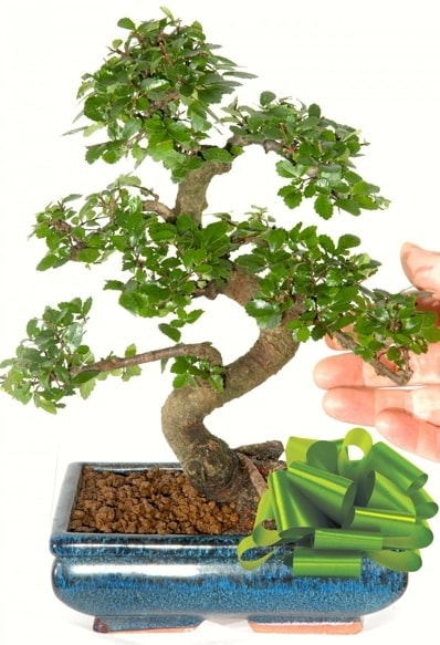 Yaklaşık 25 cm boyutlarında S bonsai çiçek siparişi sitesi