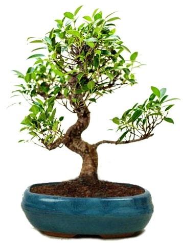 25 cm ile 30 cm aralığında Ficus S bonsai  Polatlı çiçek gönderme sitemiz güvenlidir